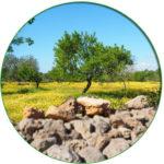 Consulenze OmniaAgroalimentare.it foto campo di ulivi